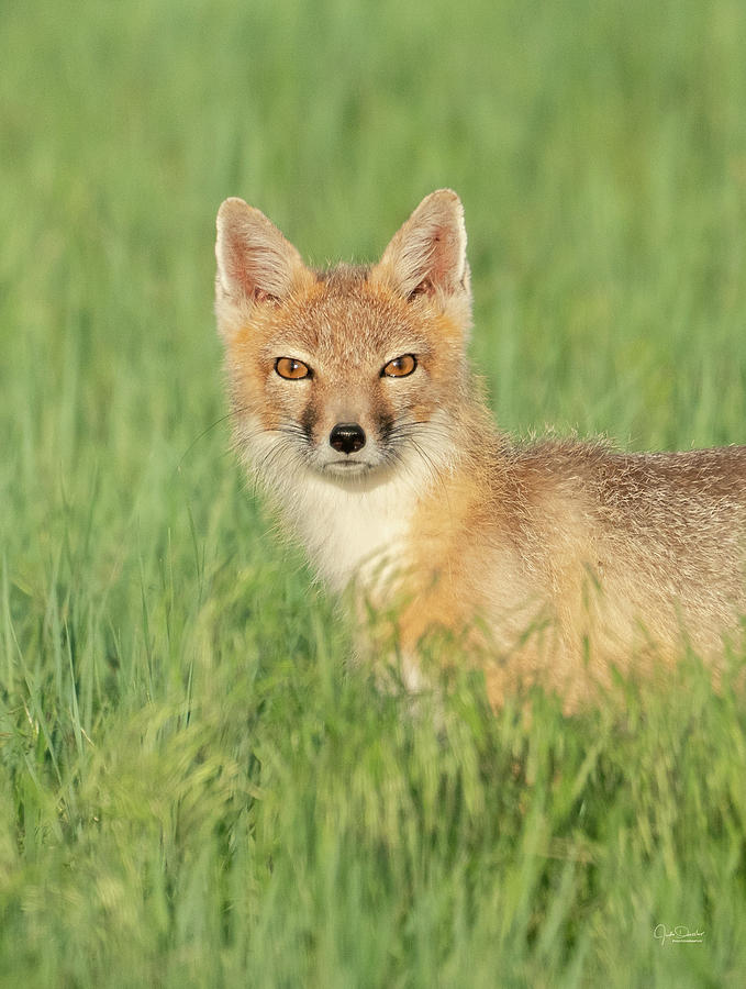 Swift Fox Portrait by Judi Dressler