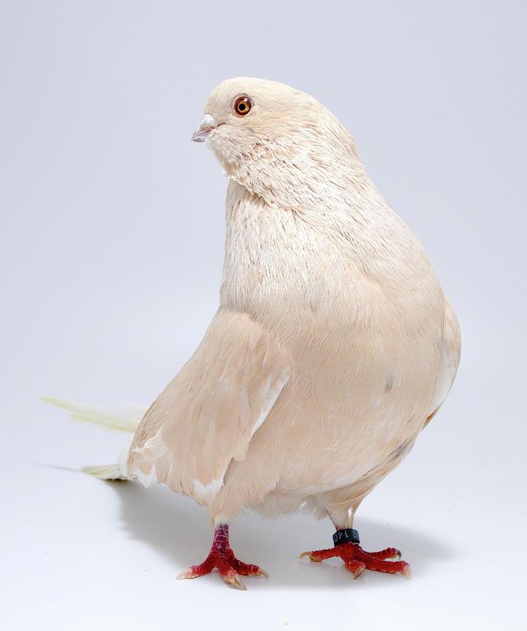 Swift Pigeon by Nathan Abbott