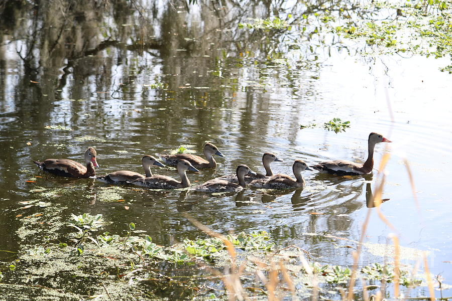 Swimming Black-bellied Whistling Duck Family by Carol Groenen