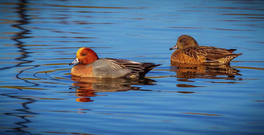 Swimming Ducks by Jean Noren