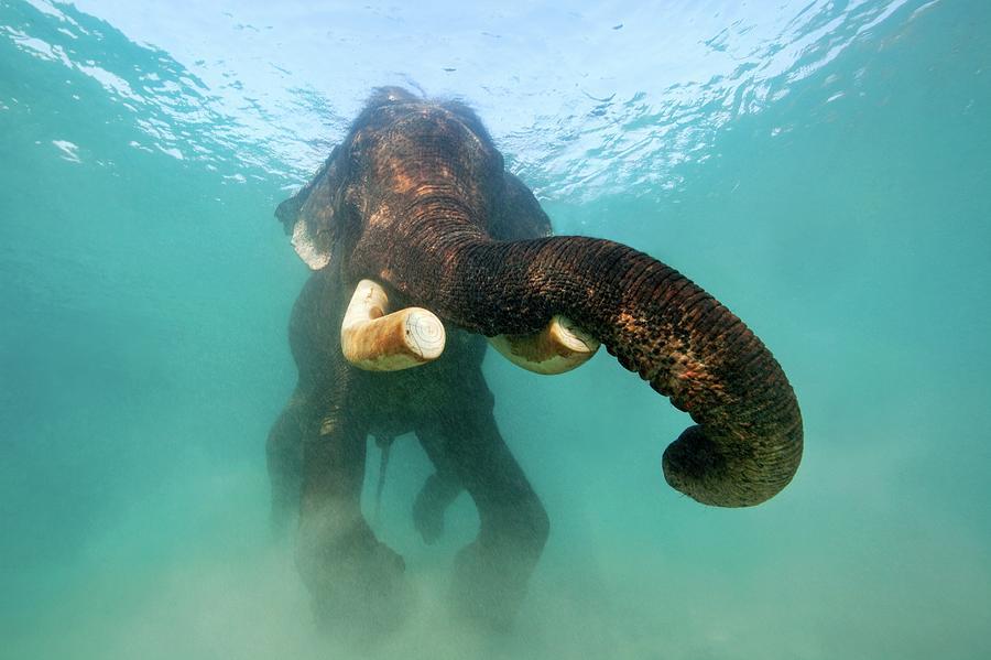 Swimming Elephant Photograph by James R.d. Scott