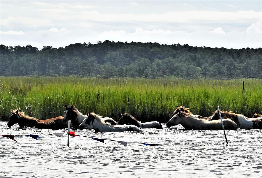 Swimming the Channel - Chincoteague Pony Run by Kim Bemis