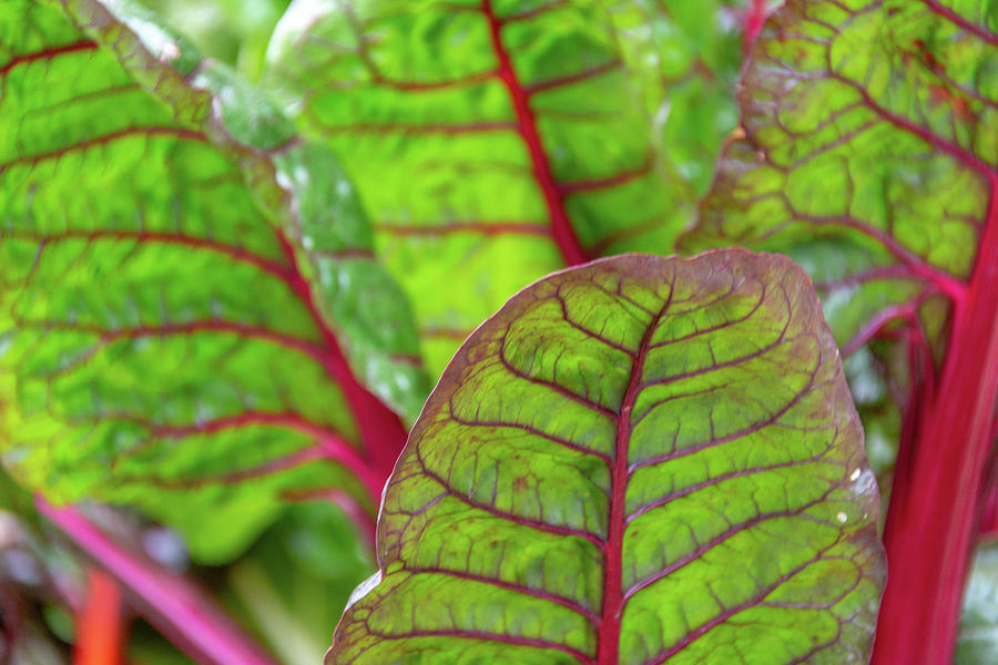 Swiss Chard Patterns by Douglas Wielfaert