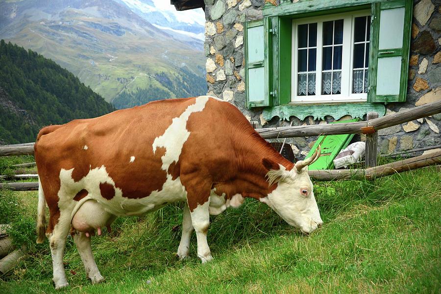 Swiss Dairy Cow Photograph by Sbossert