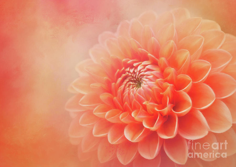 Sylvia - A Glorious Orange Dahlia by Anita Pollak