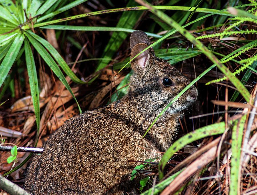 Marsh Rabbit Photograph - Sylvilagus Palustris by Norman Johnson