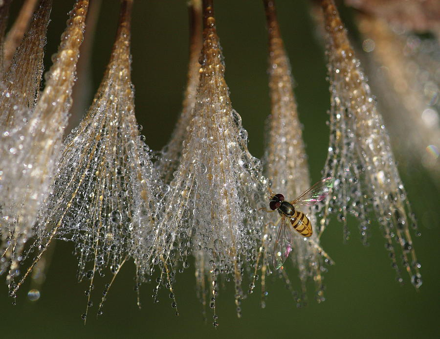 Syrphid Fly On A Dewy Morn by Daniel Reed