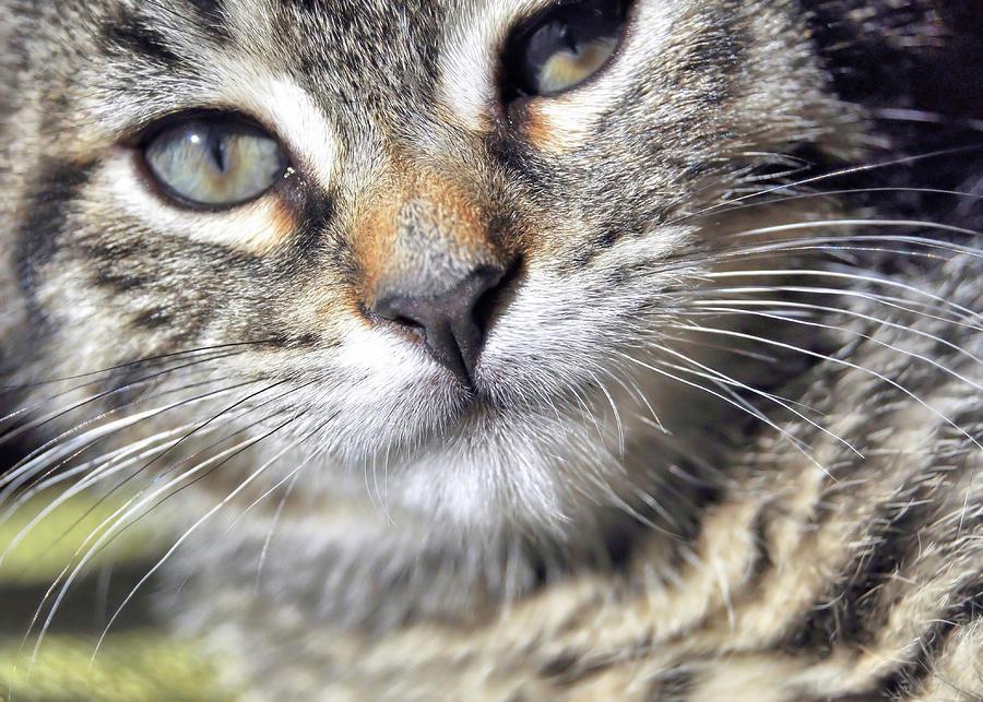 Kitten Photograph - Tabby Kitten by JAMART Photography