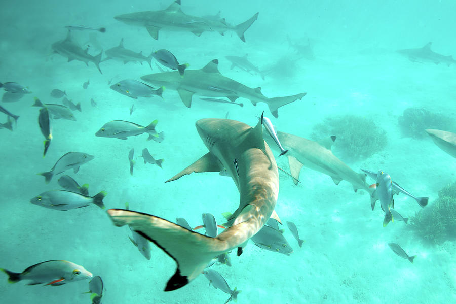 Tahiti Sharks Photograph by M Swiet Productions