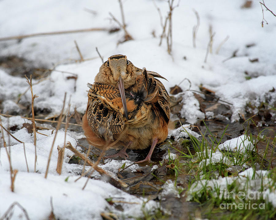 Tail Preening American Woodcock by Timothy Flanigan
