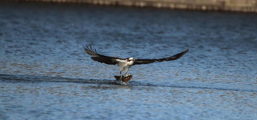 What A Catch-Osprey by Karen Silvestri