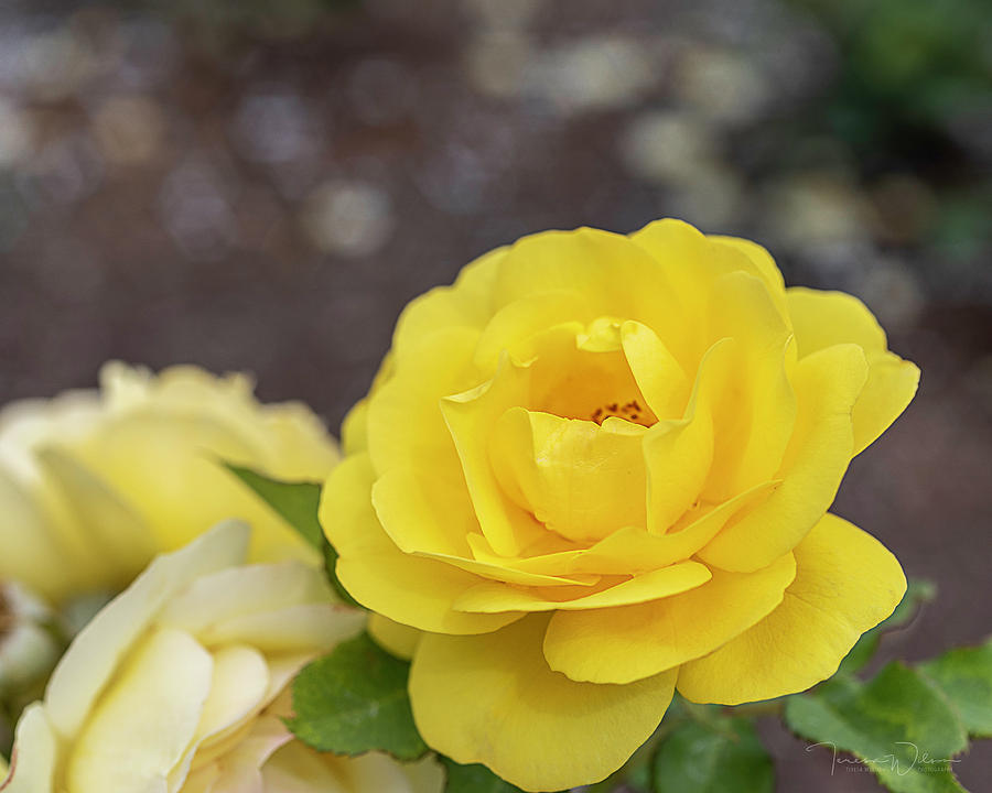 Yellow Photograph - Take Time To Stop And Smell The Roses By Tl Wilson Photography by Teresa Wilson