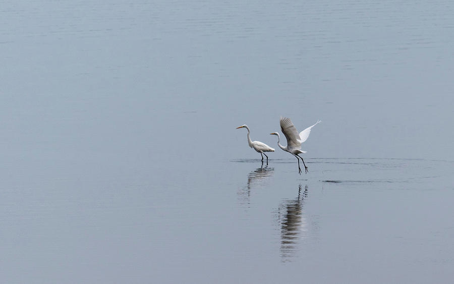 Taking Flight-Two Egrets by Johanna Froese