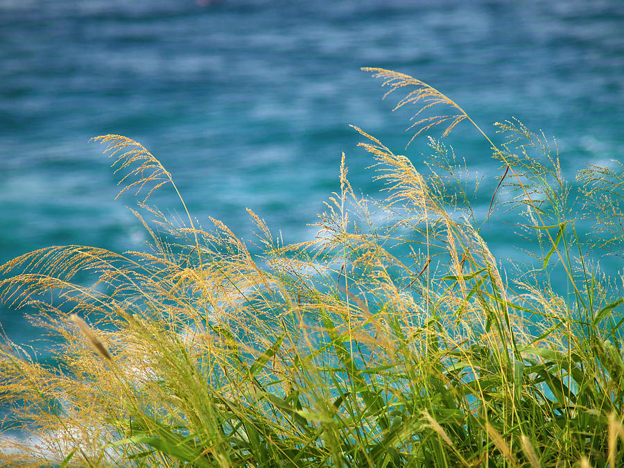 Tall Grass Against a Blue Ocean by Christopher Johnson