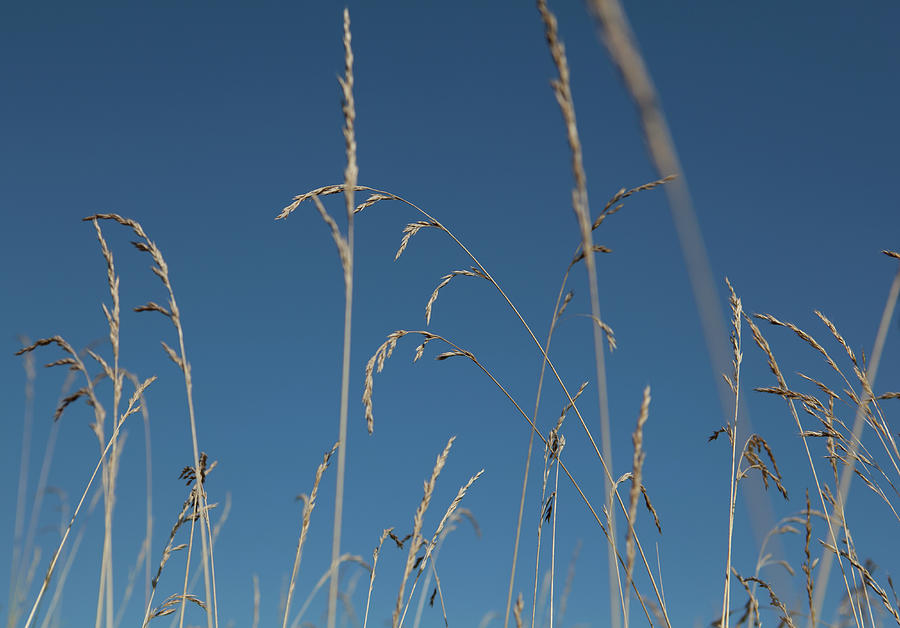 Tall Grasses Swaying Against A Blue Sky Photograph by Lauren Krohn