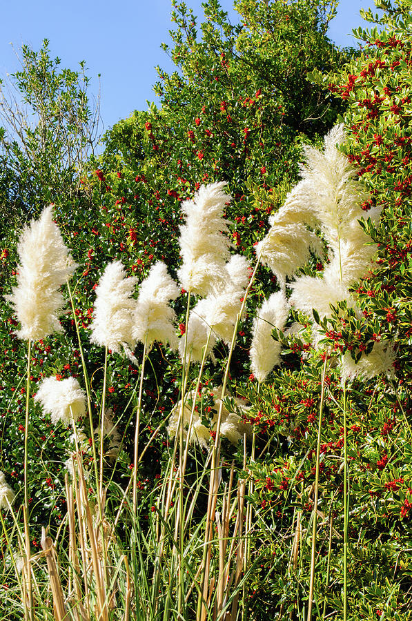 Tall Pampas Grass by Tikvah's Hope
