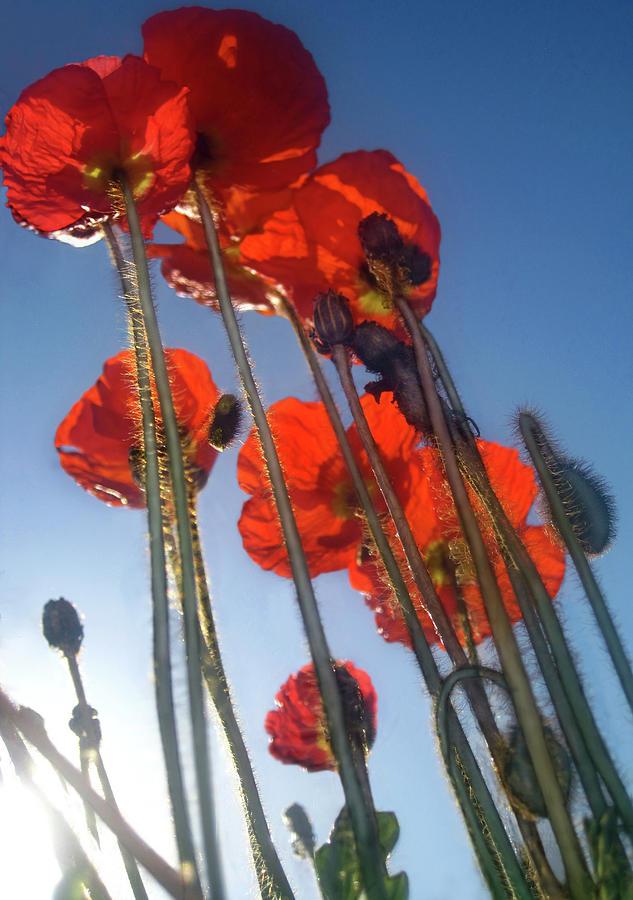 Tall Poppies by Jaeda DeWalt