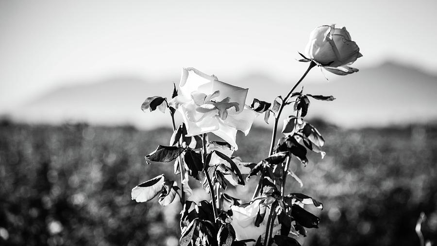 Tall Roses by Juliana Swenson