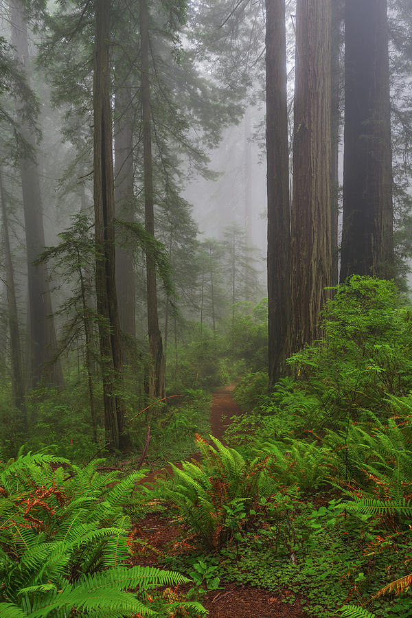 Redwood National Park Photograph - Tall Standing Trees In Fog by Greg Nyquist