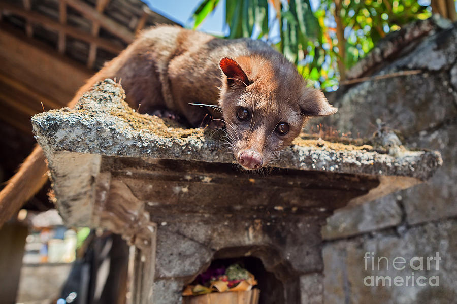 Pets Photograph - Tame Luwak Sitting On Temple Top - Wild by Tropical Studio