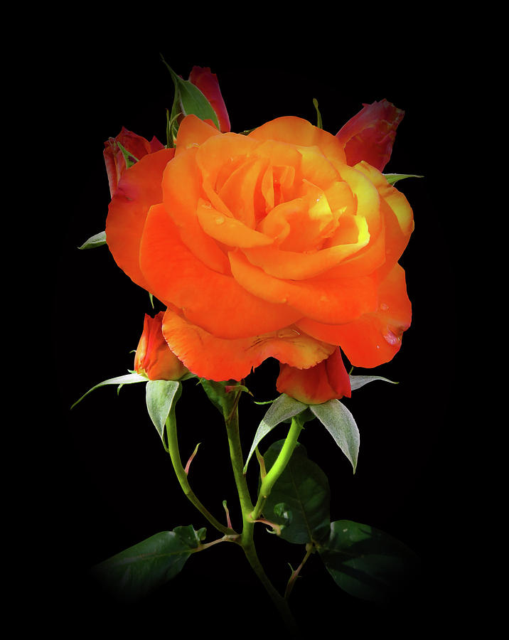 Tangerine Rose by Clive Littin