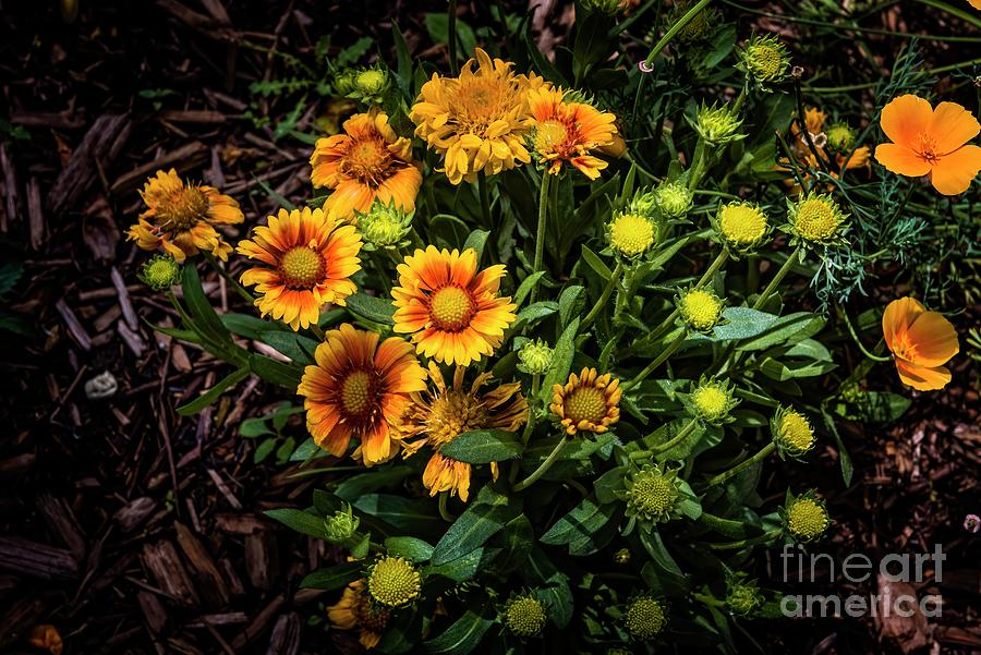 Tansy Aster by Jon Burch Photography