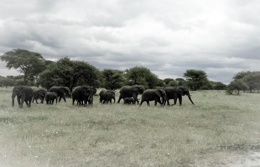 TARANGIRE ELEPHANTS by Elie Wolf