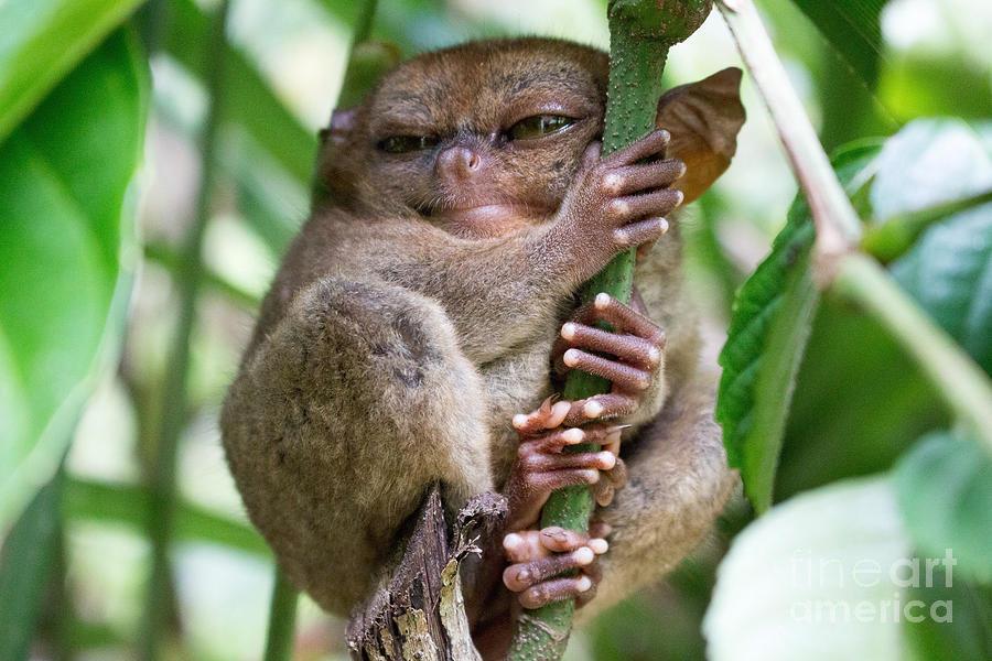 Small Photograph - Tarsier Sleeping In A Tree At Bohol by Jonnysat12