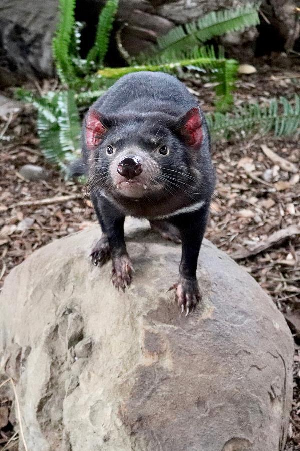 Tasmanian Devil by Sarah Lilja
