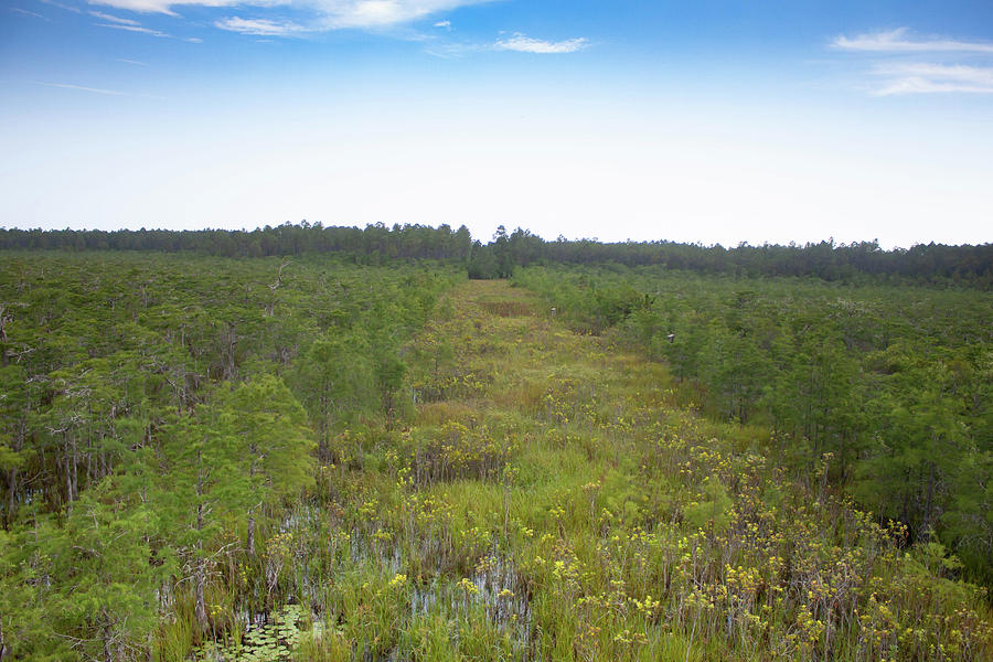 Tates Hell State Forest Clearing by Debra Forand