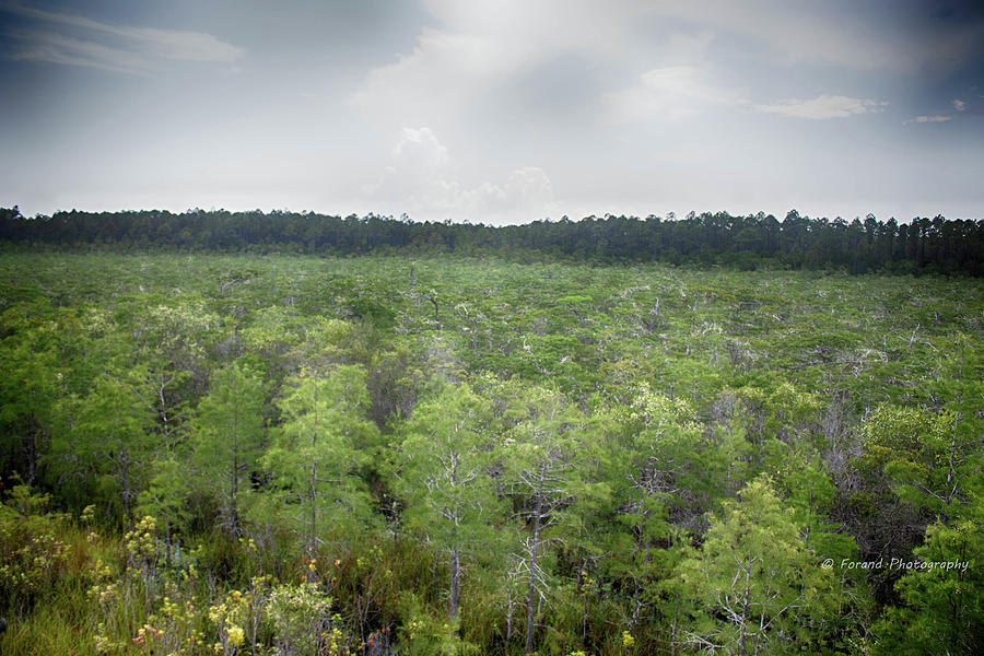 Tates Hell State Forest  by Debra Forand
