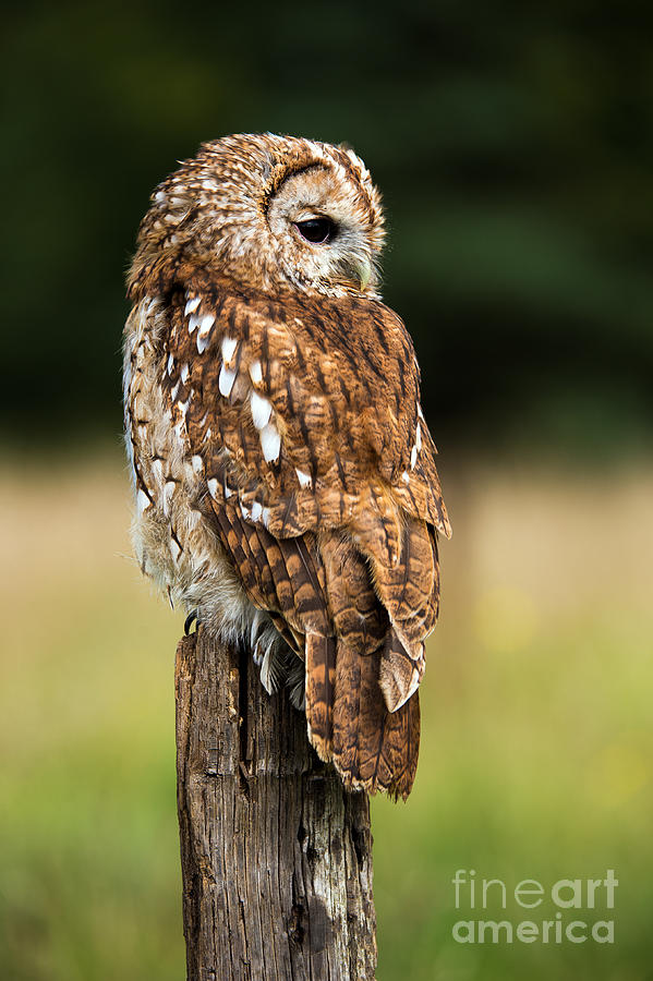 Brown Owl Photograph - Tawny Owl On Fence Post Against A Dark by Davemhuntphotography