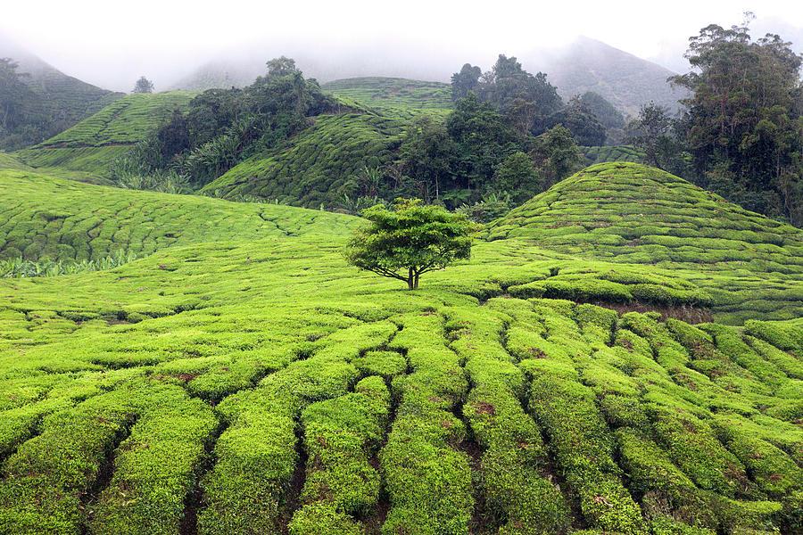 Tea Plantations Malaysia Photograph by Igor Bilic