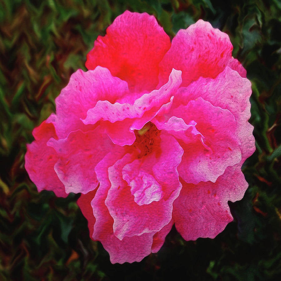 Tea Rose Bloom-square Format Photograph