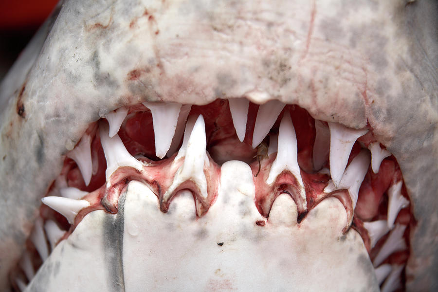 Teeth In Mouth Of Great White Shark Photograph by Andrew Holt