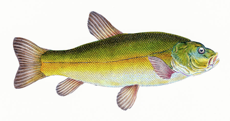 Tench  by David Letts