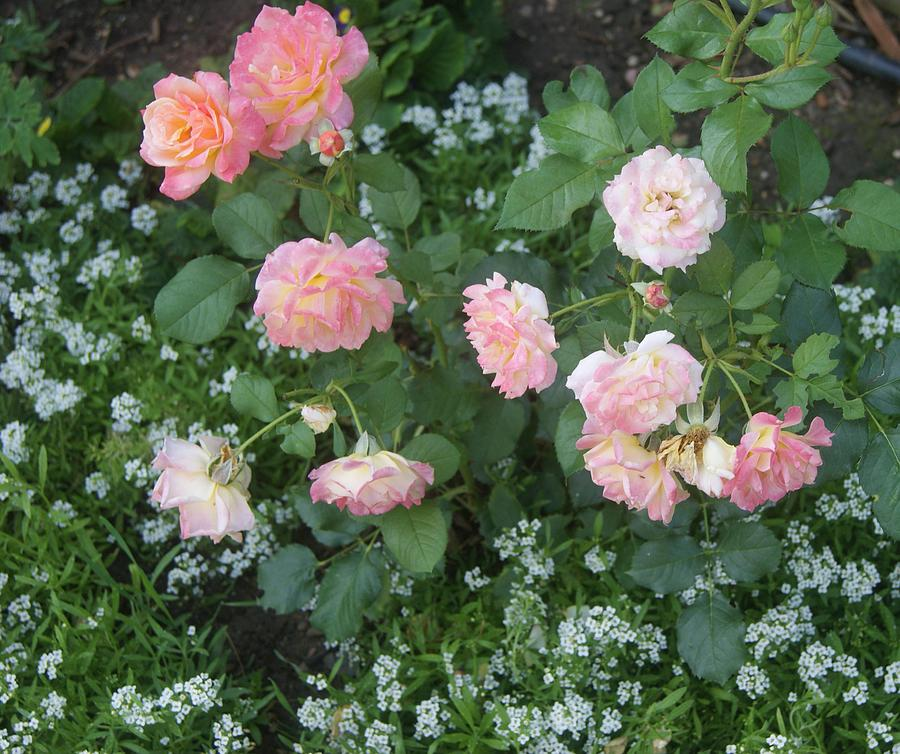 Tender Pink Roses And Alyssums Photograph By Paul Phyllis Stuart