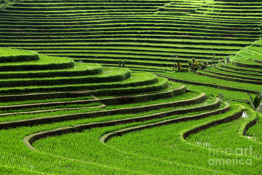 Rural Photograph - Terrace Rice Fields, Bali, Indonesia by Marko5