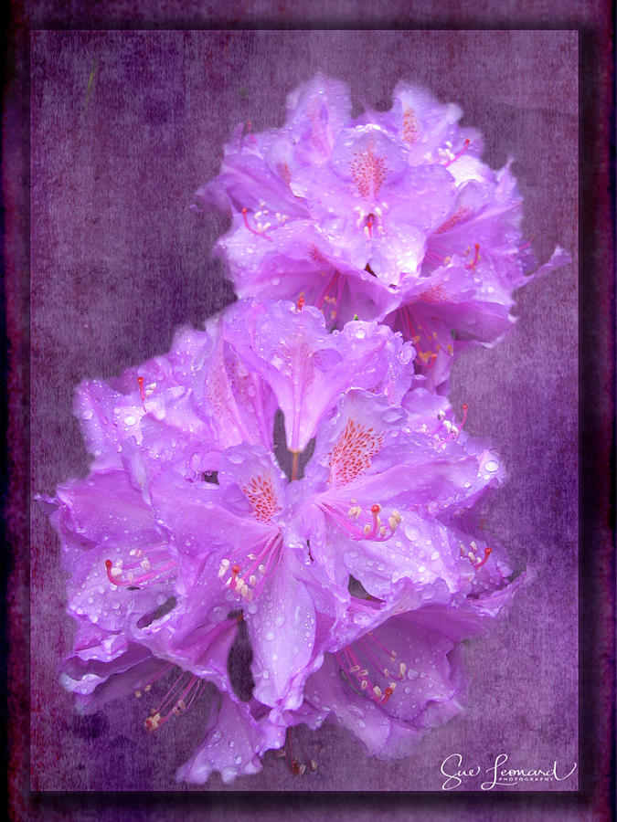 Testrured Rhododendrons by Susan Leonard