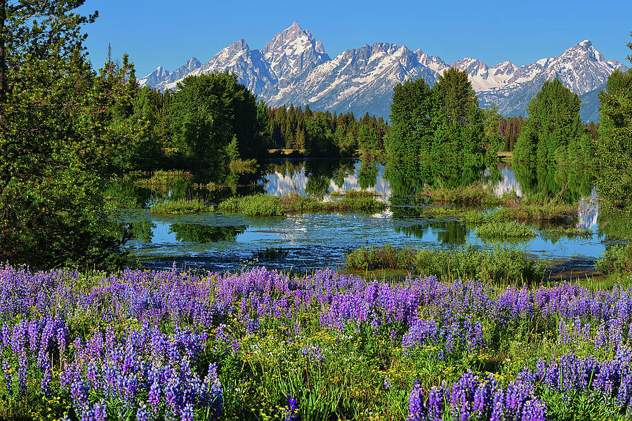 Tetons and Lupines by Greg Norrell