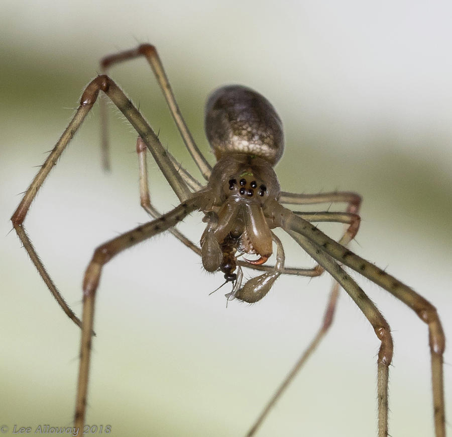 Tetragnatha  by Lee Alloway