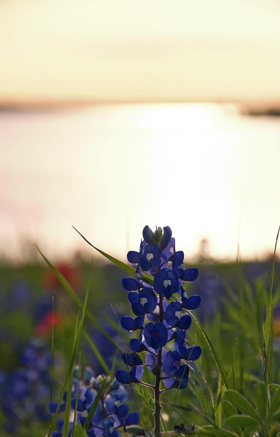 Texas Bluebonnets 3 by Andrea Anderegg