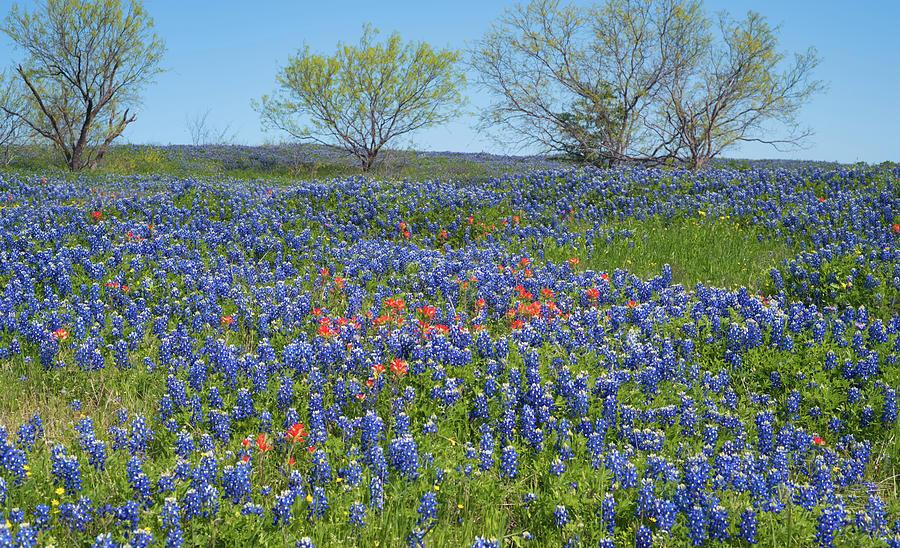 Texas Bluebonnets 4 by Andrea Anderegg
