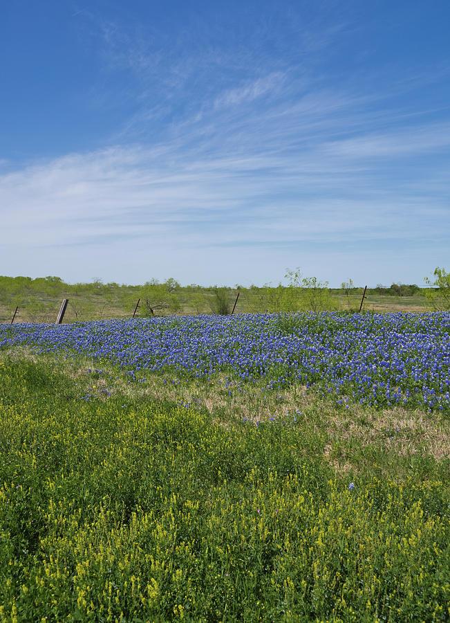 Texas Bluebonnets 6 by Andrea Anderegg