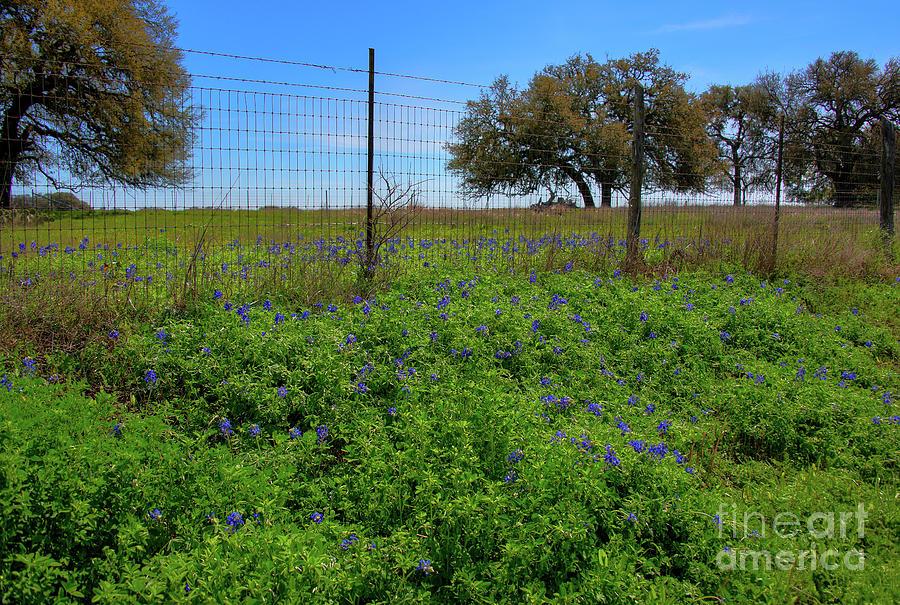 Texas Bluebonnets Photograph