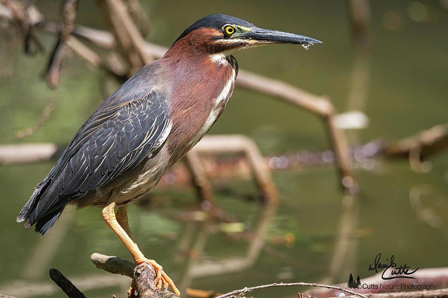 Alert Photograph - Texas Green Heron by David Cutts