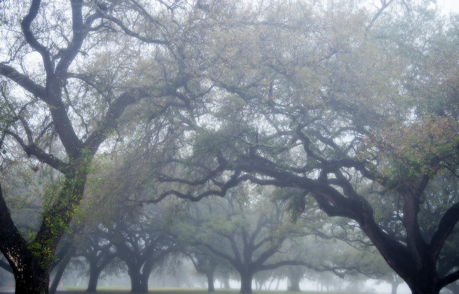 Texas Live Oaks in Fog by Bud Simpson