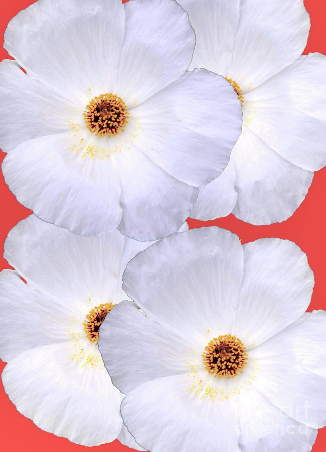 Texas Prickly Poppy Photograph