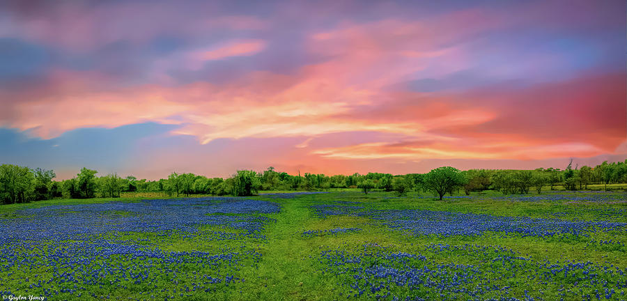 Texas State Flower, Bluebonnets by Gaylon Yancy