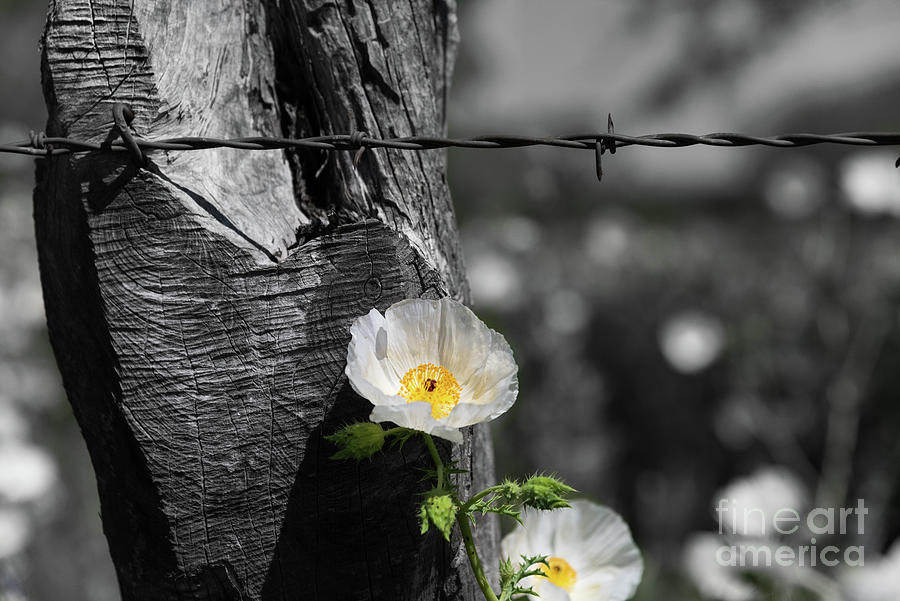 Texas wildflower selective color by Paul Quinn